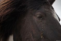 Crying horse in the volcanic area, south Iceland. by skarpi -