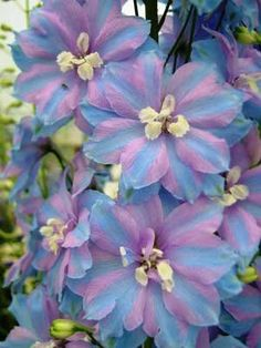 Collected Delphinium Seed - See our range of seed in the Larkspur Nursery Seed Store - Page 2 Types Of Flowers, My Flower, Beautiful Flowers, Delphinium Flowers, Delphiniums, Belleza Natural, Exotic Flowers, Flower Seeds, Lawn And Garden
