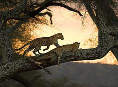after sunset #2 by AnyMotion on Flickr. Leopards in tree, Tarangire N.P. near Arusha, Tanzania
