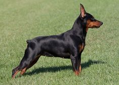 The Doberman Pinscher is among the most popular breed of dogs in the world. Known for its intelligence and loyalty, the Pinscher is both a police- favorite Best Small Dog Breeds, Unique Dog Breeds, Small Dogs, Mini Pinscher, Miniature Pinscher, Doberman Pinscher, Mini Doberman, Miniature Doberman, Min Pin Dogs