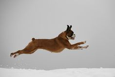 Boxers can fly!!! :)