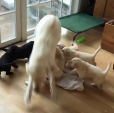 Mom playing with her puppies