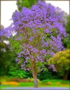 Shamel ash fraxinus uhdei also called evergreen ash for Planta ornamental jacaranda