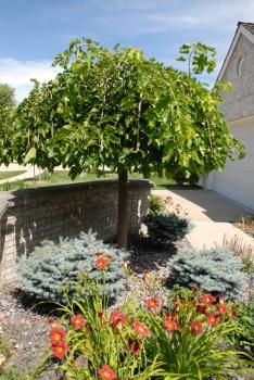 dwarf weeping mulberry tree - bears a ton of mulberries that are very sweet in the spring, also looks more amazing in person