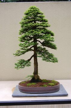 he word bonsai is most closely associated by most with the growing of miniature trees, and although this is somewhat accurate, there is a lot more to it than that. A bonsai is not a genetically overshadowed plant Ficus Bonsai, Maple Bonsai, Bonsai Soil, Juniper Bonsai, Bonsai Seeds, Bonsai Plants, Bonsai Garden, Cactus Plants, Bonsai Tree Care