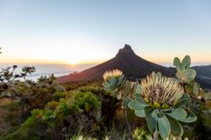 Photograph by Sacha Specker President Hotel, King Protea, Spring Flowers, Cape, Photograph, Bloom, Inspired, Floral, Plants