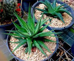 Haworthia fasciata Haworthia limifolia Ambas são nativas do sul da África. Fáceis de cultivar.
