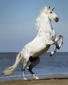 Pura Raza Española stallion, Picaro XI. photo: Renee Zandbergen.