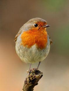 Image of reddish, birdwatching - 7823548 Robin bird. Robin, beautyful bird with reddish-orange face and breast, looking a , Small Birds, Colorful Birds, Little Birds, Exotic Birds, Pretty Birds, Beautiful Birds, Animals Beautiful, Beautiful Songs, Beautiful Pictures