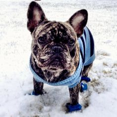 Brindle French Bulldog in the Snow