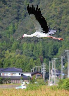 コウノトリ5年ぶり自然放鳥   兵庫・豊岡