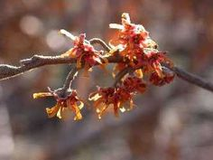 Ozark witch hazel. Full sun to part shade, USDA Zones 4 to 8, grown for winter/early-spring fragrant blooms, native to South and Central US. Click through for more info.