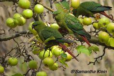 Austral Parakeet (Enicognathus ferrugineus) / Изумрудный попугай
