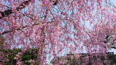 京都 二条城 しだれ桜 Japan,Kyoto,Nijo-ji Castle,cherry blossoms