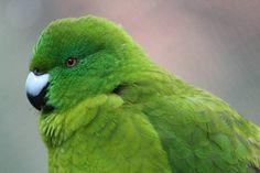 Antipodes Island parakeet (Cyanoramphus unicolor)
