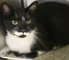 ADOPTED>Intake: 6/23 Available: 6/29 NAME: Stash  ANIMAL ID: 28201983 BREED: DSH  SEX: Neutered Male  EST. AGE: 6 yrs  Est Weight: 11.2 lbs  Health:  Temperament: Friendly  ADDITIONAL INFO:  RESCUE PULL FEE: FREE!!