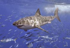 Great White Shark Facts — Q & A The great white shark is one of the most popular sea creatures — known for its size (it can grow over half the size of a bus) and its ferocious appetite (which s… Megalodon, Orcas, Great White Shark Facts, Largest Sea Creature, Shark Photos, Shark Pics, Big Shark, Shark Week, Underwater Photography