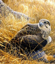 Birds 31 Prairie Falcon And Prey, 2001 Robert Bateman Sqs. Robert Bateman
