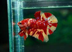 Aquarium Fish Store, Aquarium Fish Tank, One Fish Two Fish, Beta Fish, Beautiful Fish, Animals Beautiful, Cool Fish Tanks, Freshwater Aquarium Fish, Siamese Fighting Fish
