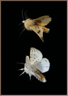 buff ermine moth + white ermine moth in flight Wildlife Photography, Art Photography, Pale Fire, Moth Wings, Picture Boxes, Lovely Creatures, Mundo Animal, Photo Colour, Natural World