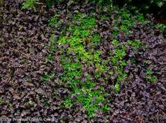 ground cover carpet plants images uk - Google Search