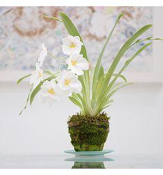 Miltonia-Orchid-Plant