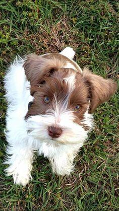Mini Parti Schnauzer Puppy Our sweet baby boy, Gibson.