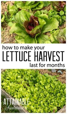 Continuous harvest lettuce! This is a great method for harvesting lettuce for anyone who puts work into a vegetable garden (might as well get the most bang for your buck, right?) but it's an especially good tip for urban gardeners who don't have a lot of space. Garden ~ prepping ~ homestead ~ grow your own ~ seeds ~ vegetables