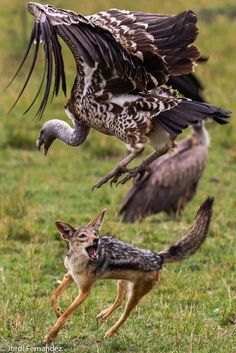 The jackal charged a group of vultures that were feeding on a carcass.