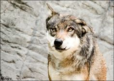 Omg, WHAT happened to this wolf? by woxys.deviantart.com on  @DeviantArt