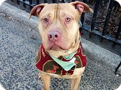 New York, NY - Pit Bull Terrier Mix. Meet Ocean, a dog for adoption. http://www.adoptapet.com/pet/14855441-new-york-new-york-pit-bull-terrier-mix