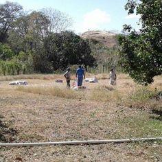 Cortando Pasto para Caballos, desde Las Tablas Provincia de Los Santos