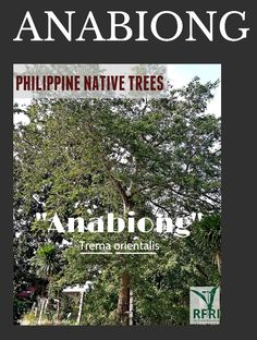 """ANABIONG (Trema orientalis) This fast growing native tree only requires minimum care. Anabiong is used in rope, fish-net, and paper production. """"Protect our trees, our forests- our source of life!"""" #PhilippineNativeTrees #NativeTrees #Rainforestation #ForestProtection (Philippine Natie Trees 101: Up Close and Personal, 2013) August 5, 2016 General Construction, Forest Plants, Wood Tree, Rare Plants, Flowering Trees, Fast Growing, Forests, Landscape Architecture, Philippines"""