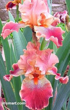 Beautiful shades of pink bearded iris