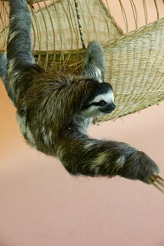 Buttercup, sloth at Aviarios del Caribe sanctuary, Cahuite, Costa Rica by Chris Liberty, via Flickr