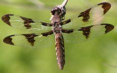 Common whitetail - Wikipedia, the free encyclopedia