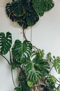 Monstera plants.
