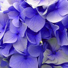 Blue Hydrangeas | Laura Maxwell Photographic Imagery