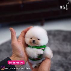 The cutest snowball! By: animals exoticos salvajes video funny wild sea animals animals cutest animals cutest videos animals wild animals cats baby kittens dogs puppies Cute Teacup Puppies, Cute Baby Puppies, Cute Pomeranian, Micro Pomeranian, Tiny Puppies, Baby Animals Super Cute, Cute Little Animals, Cute Funny Animals, Cute Cats