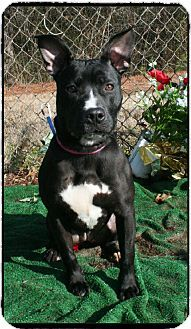 Marietta, GA - Pit Bull Terrier/Boxer Mix. Meet MARCIE a Dog for Adoption.