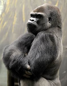 "Chin up  Ya Kwanza, a silverback gorilla stands in the ""Gorilla's Camp"" enclsure at the Amneville zoo in France on April 4. Ya Kwanza arrived with seven other gorillas from other western zoos, as part of the European Breeding of an Endangered Species program."