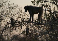 Paviane am Baum im Kruger Nationalpark Panther, Safari, Animals, Inspiration, Baboon, National Forest, Literature, Tree Structure, Biblical Inspiration