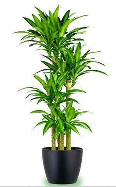 18 Best Large Indoor Plants for Home | Pinterest | Large indoor ...