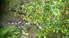 Berberitze. Spermatischer Geruch Herbs, Plants, Herb, Plant, Planets, Medicinal Plants