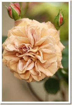Floribunda Rose: Rosa 'Utsusemi' (Japan, 2011)