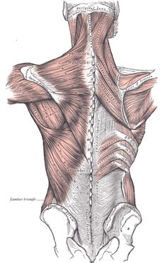 Muscles connecting the upper extremity to the vertebral column