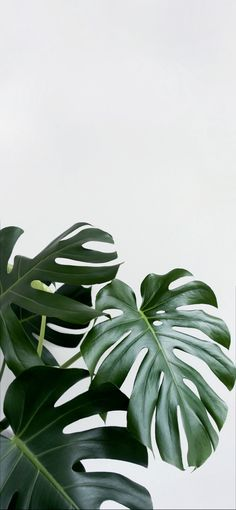 Bamboo Plants, Faux Plants, Plant Wall, Plant Decor, Peperomia Plant, Dream Pictures, Balcony Plants, House Plants, Mosquito Repelling Plants