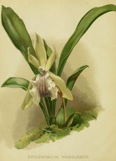 Book illustration, Orchid, 1887