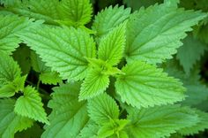 Stinging Nettle Plant 50 Seeds - Herbal Tea or Deterent Herbal Remedies, Home Remedies, Natural Remedies, Allergy Remedies, Best Edibles, Wild Edibles, Horse Farms, Medicinal Herbs, Perennials