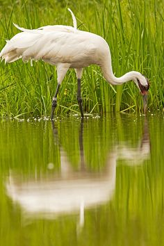 Recovering from a low of only 21 birds in the wild in the 1940s to around 599 birds today, the Whooping Crane's recovery is one of conservation's most inspiring success stories.   Two distinct migratory populations summer in northwestern Canada and central Wisconsin and winter along the Gulf Coast of Texas and the southeastern United States, respectively. Small, non-migratory populations live in central Florida and coastal Louisiana.